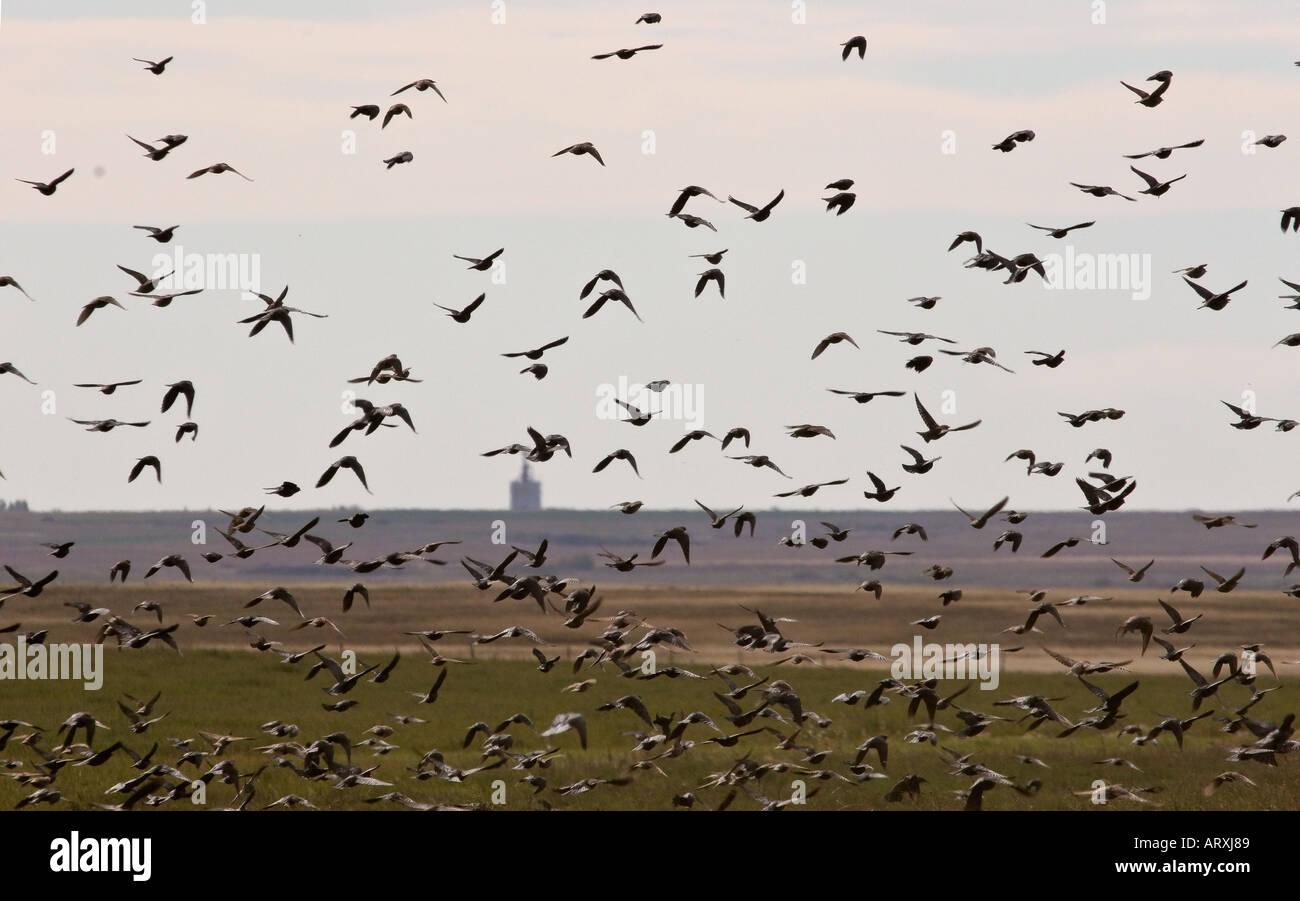 A large flock of Lark Buntings in flight in scenic Southern Saskatchewan Canada - Stock Image