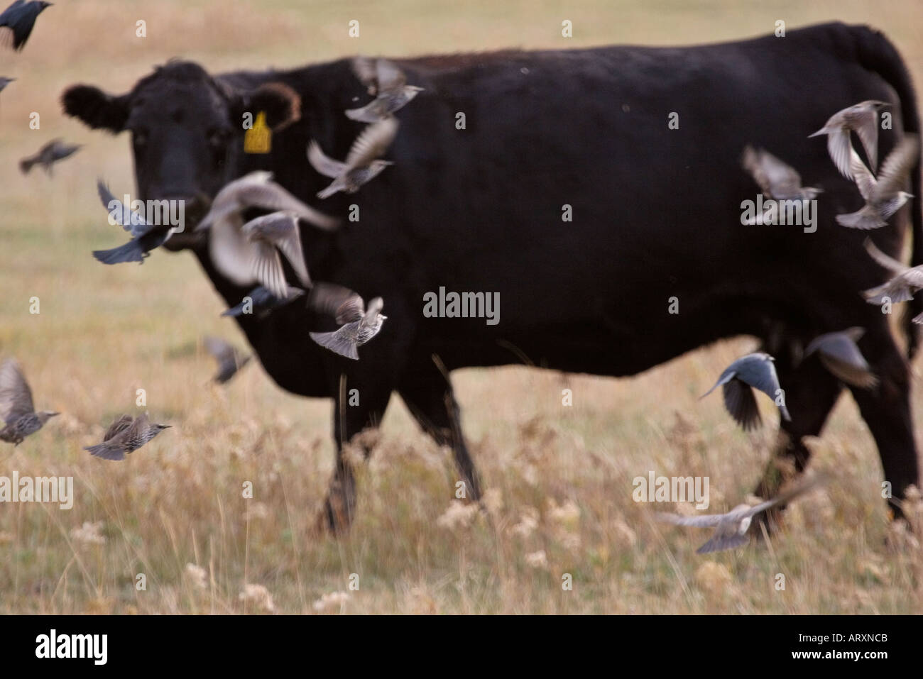 Lark Buntings in flight with cow watching in scenic Southern Saskatchewan - Stock Image