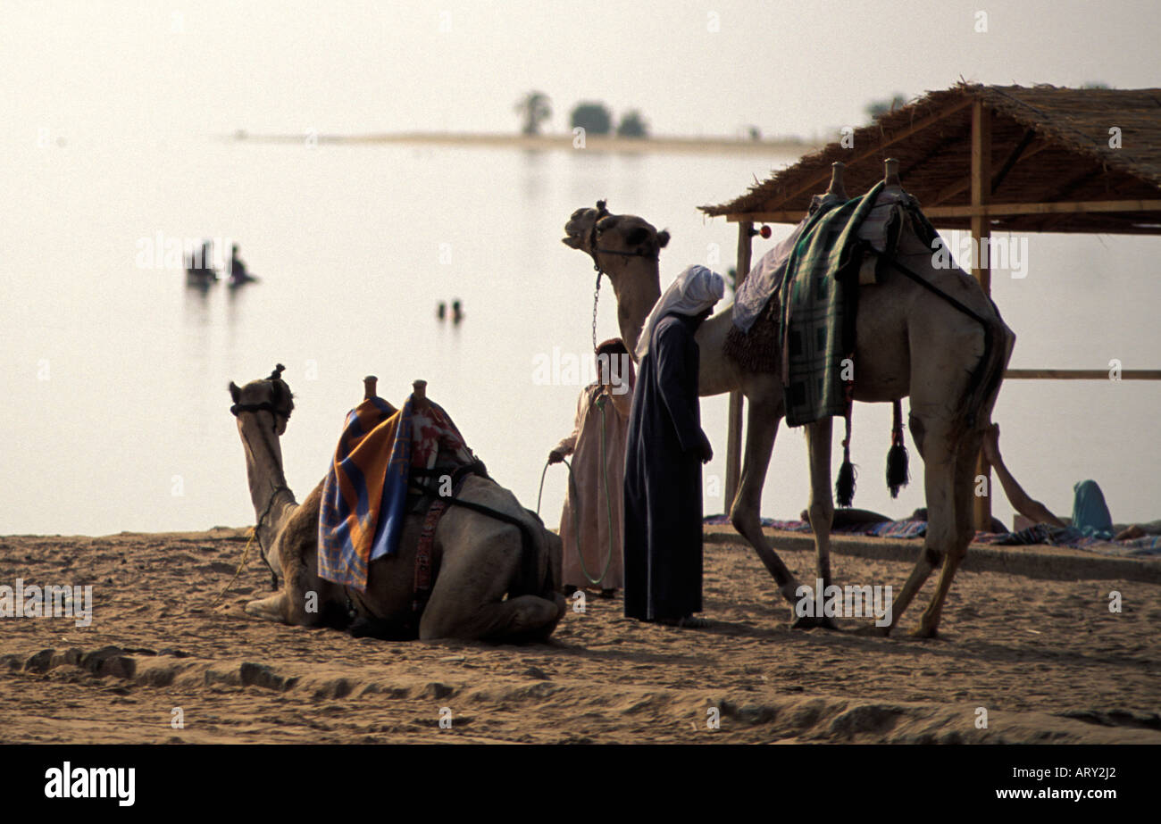 Sinai camels on Nuweiba beach, egypt Stock Photo