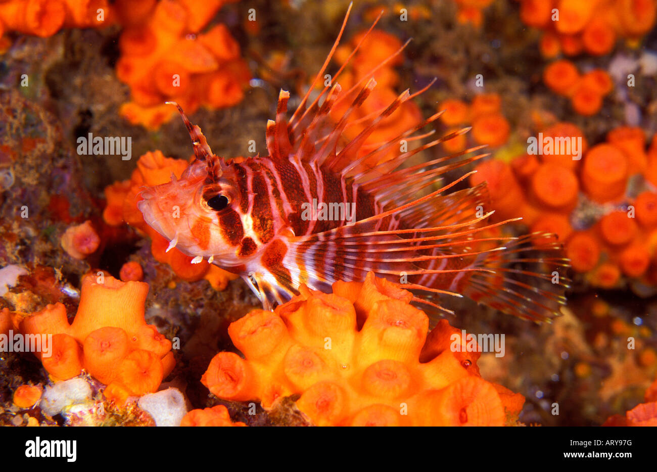 An Hawaiian Lionfish (Pterois sphex) is a colorful yet venomous reef ...