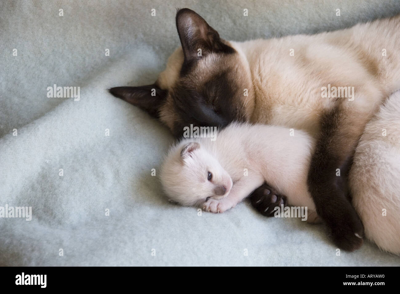 Female Siamese Cat With 2 Week Old Kitten Stock Photo 9229071 Alamy