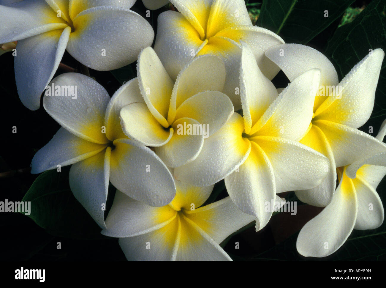 Lovely And Fragrant Plumeria Flowers Also Known As Frangipani Stock