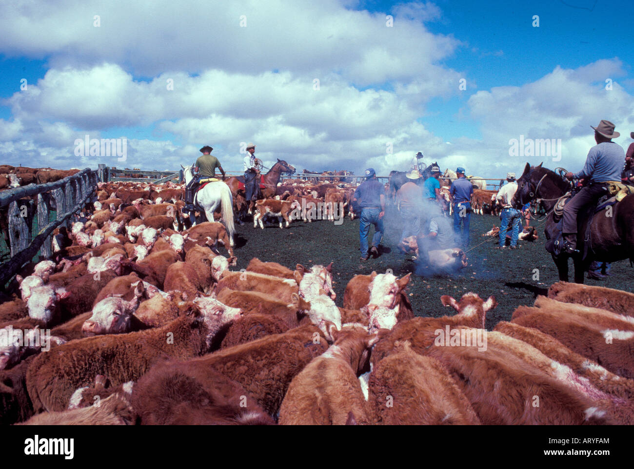 Cattle in the corral waiting to be branded, with cowboys in the background, Parker Ranch, Waimea (Kamuela) - Stock Image