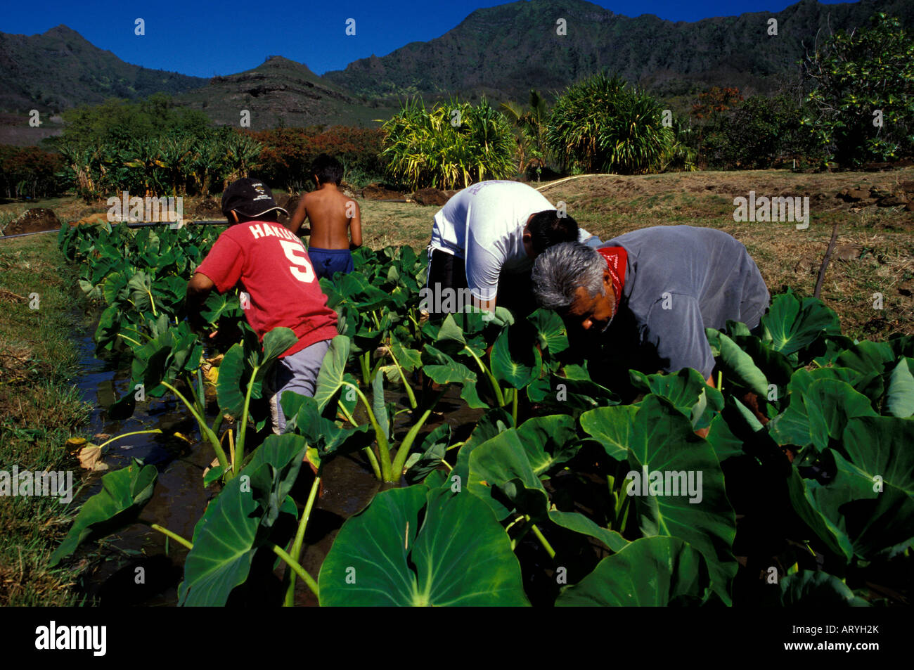 Working in the kalo loi (taro pond) at Kaala Farms, a Hawaiian culture learning center in Waianae - Stock Image