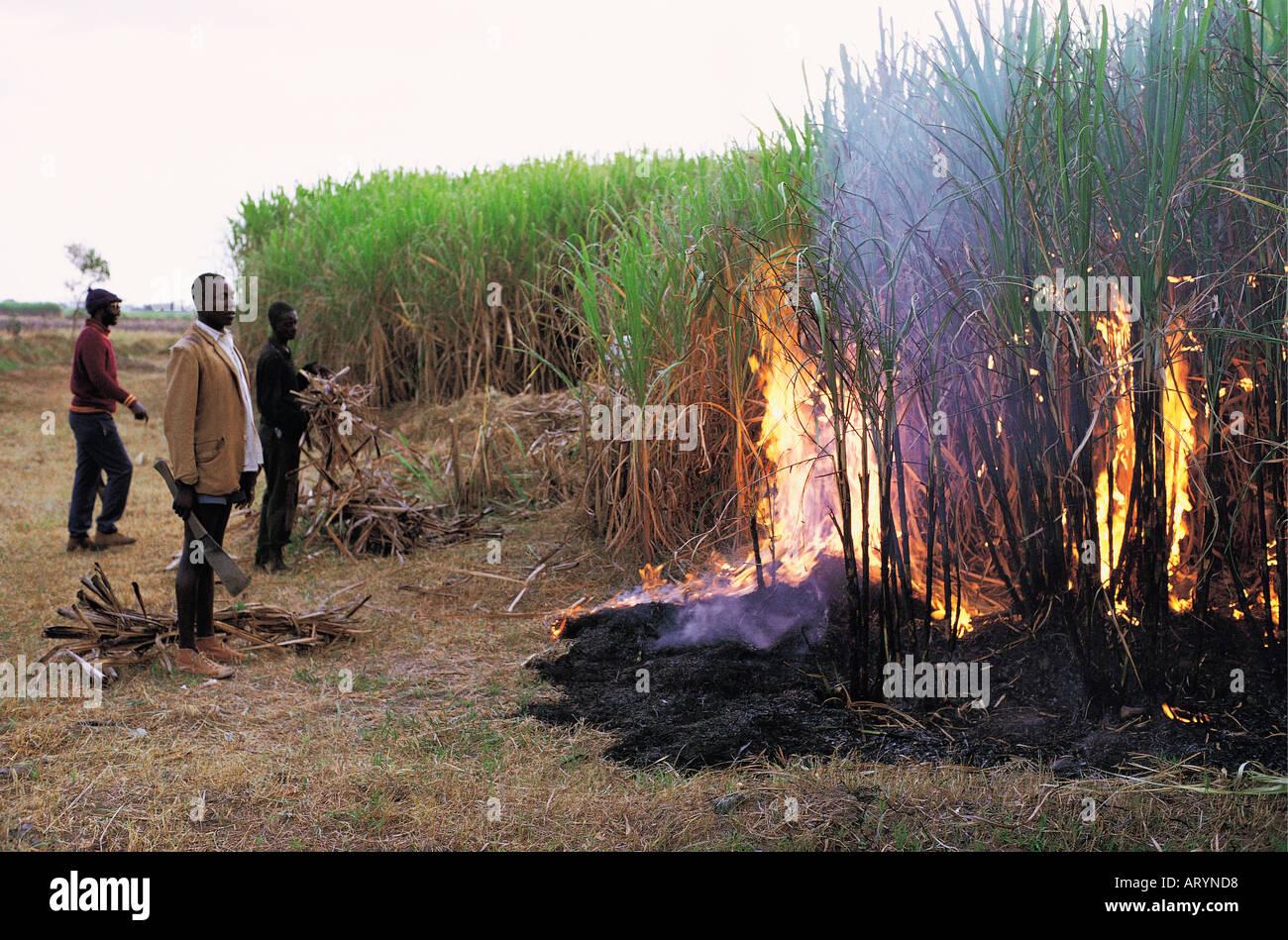 Normal burning of sugar cane near Mumias in western Kenya East Africa - Stock Image
