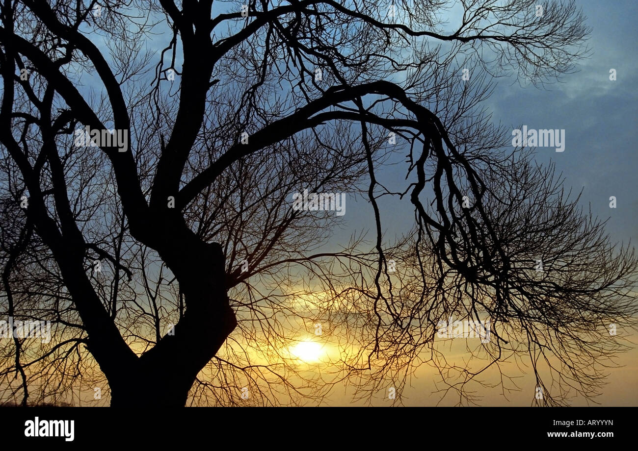 Tree outline in sunset - Stock Image