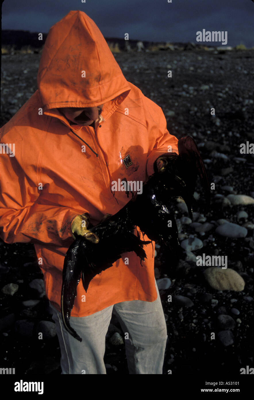 Worker holding oil soaked Cormorant on beach Gulf or Alaska - Stock Image