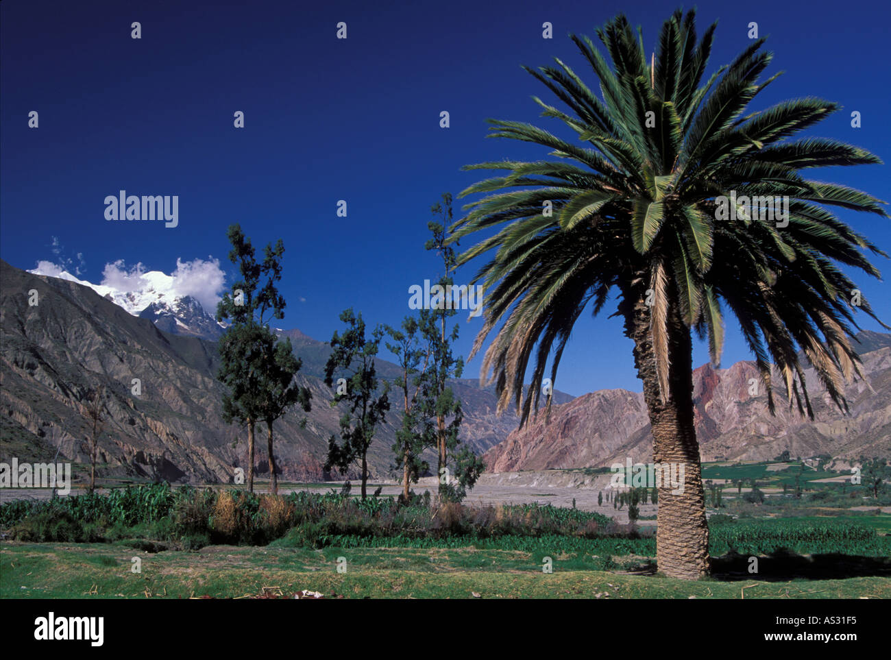 Rio Abajo valley below La Paz with Palmtree and snowcovered Mount Ilimani Bolivia - Stock Image