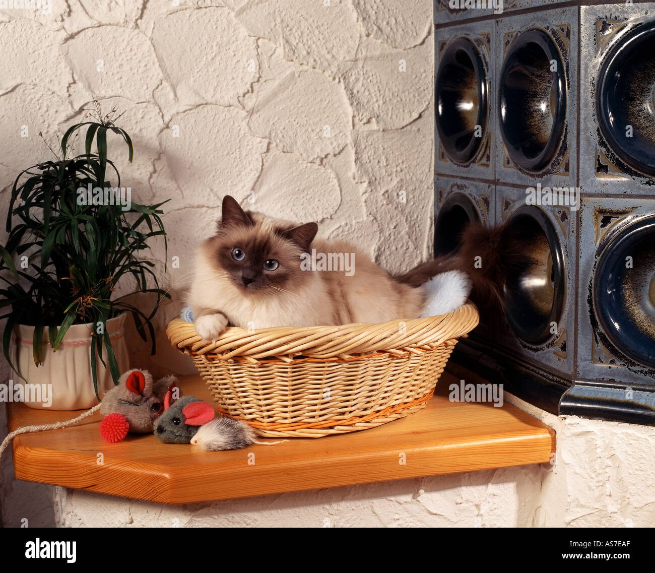 Sacred cat of Burma - lying in basket next to tiled stove - Stock Image