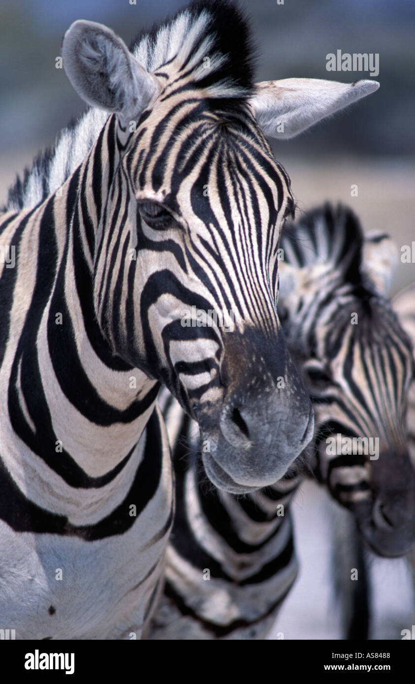 Zebras mother offspring nr Namutoni Etosha National Park Namibia Zebra - Stock Image