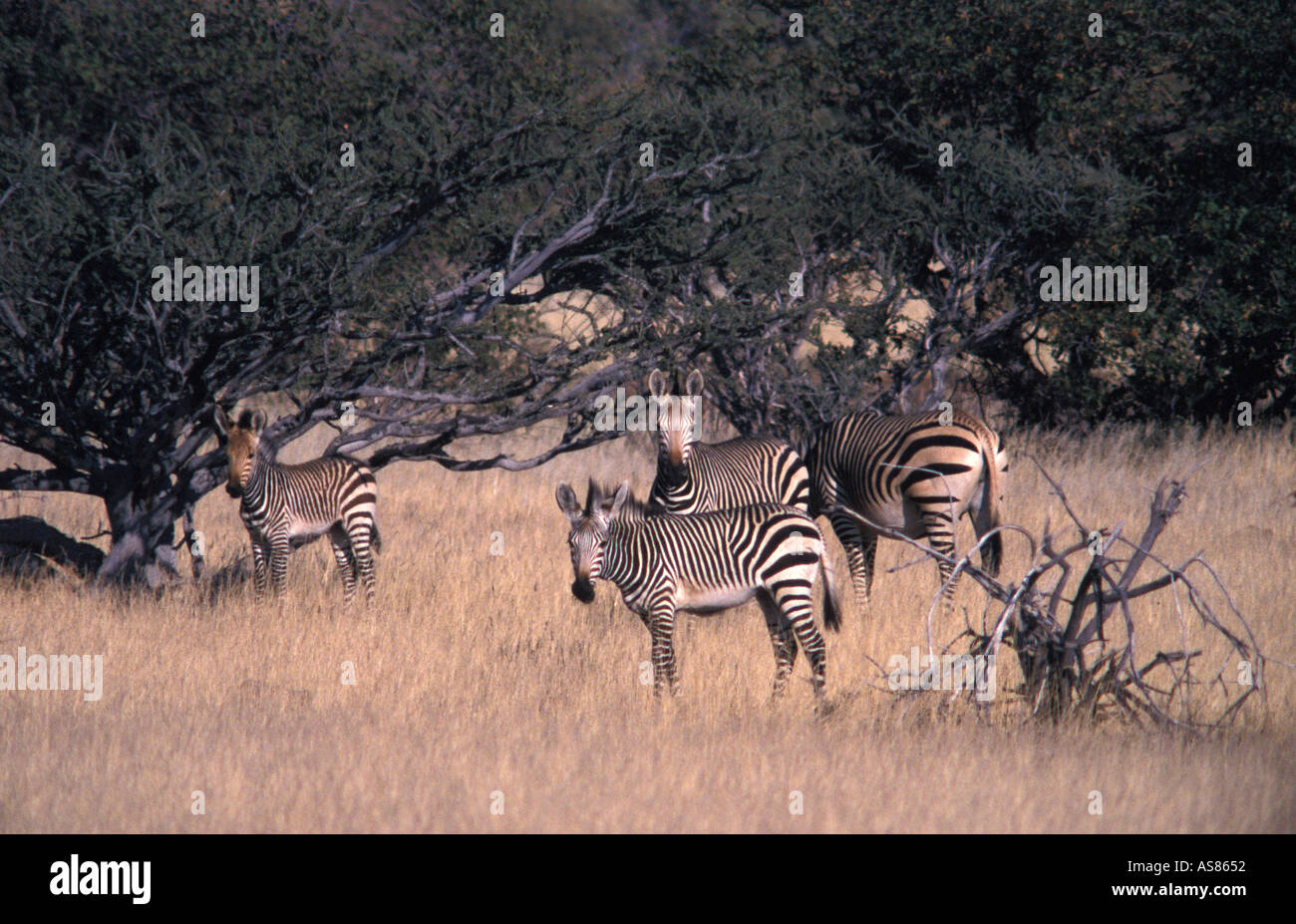 Zebra in the wild viewed from the Sesfontein to Opuwo road Namibia - Stock Image