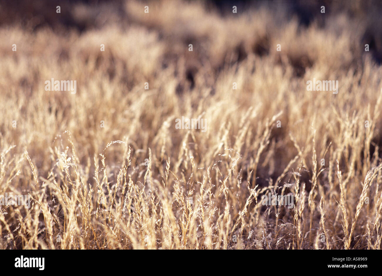 Backlit grasses on roadside back road fom Rehoboth to Sesriem nr Namibgrens Namibia - Stock Image