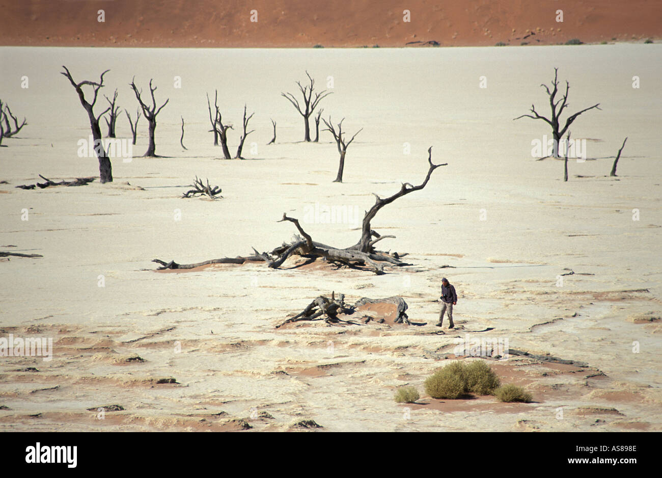 Sand dunes dessicated acacia trees on a salt pan Dead Vlei Namib Naukluft Nat l Park Lone walker gives scale Namibia - Stock Image