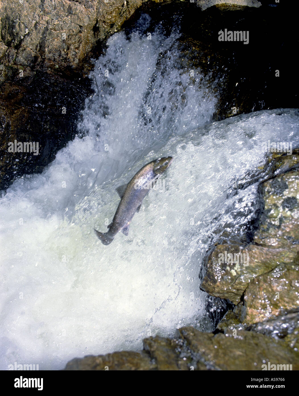 Leaping Salmon Salmo Salar upstream on its on it River migration    GFIM 1012 - Stock Image