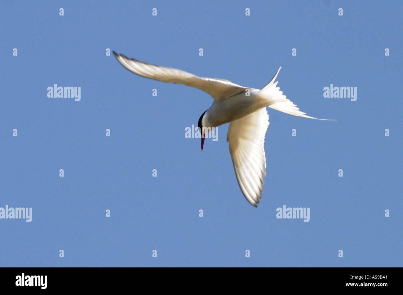 BT2-51D HOVERING ARCTIC TERN - Stock Image