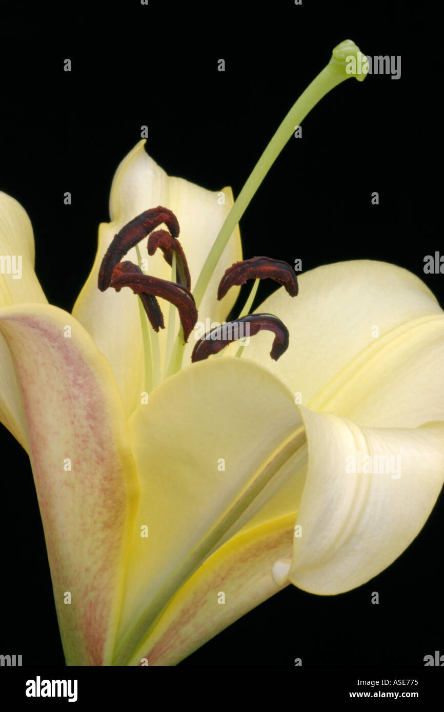 Lily lilium flower cream stock photos lily lilium flower cream the perfection of an opening oriental lily flower stock image izmirmasajfo