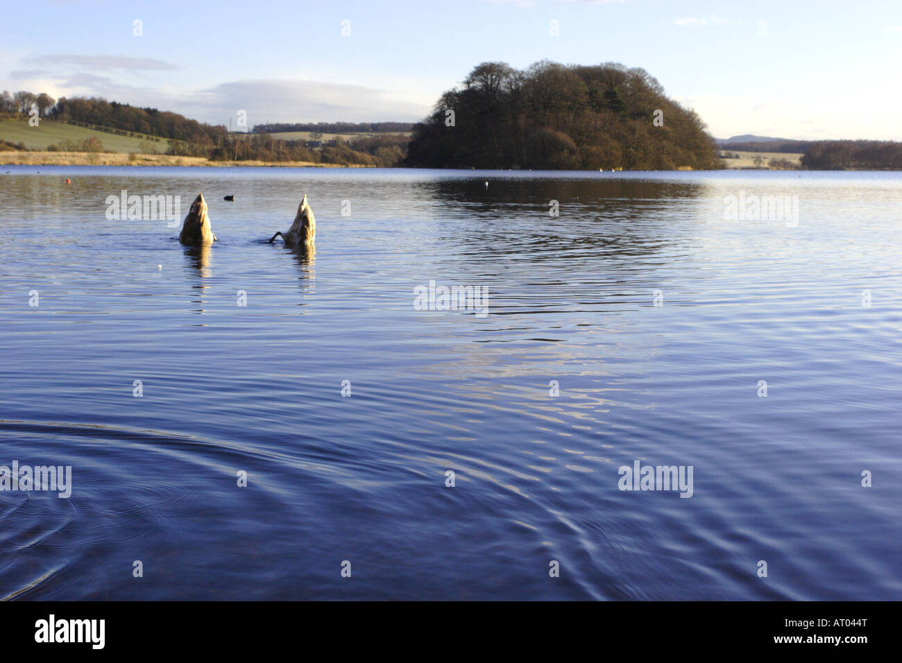 Swans Upending at Gartmorn Dam Country Park and Nature Reserve. - Stock Image