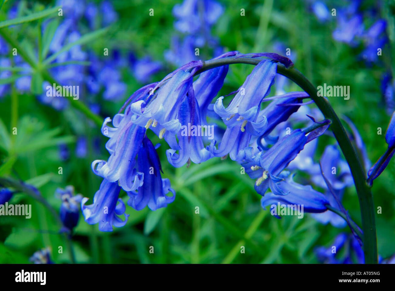 Bluebells Wild Spring Flowers Hyacinthoides Non Scripta In A