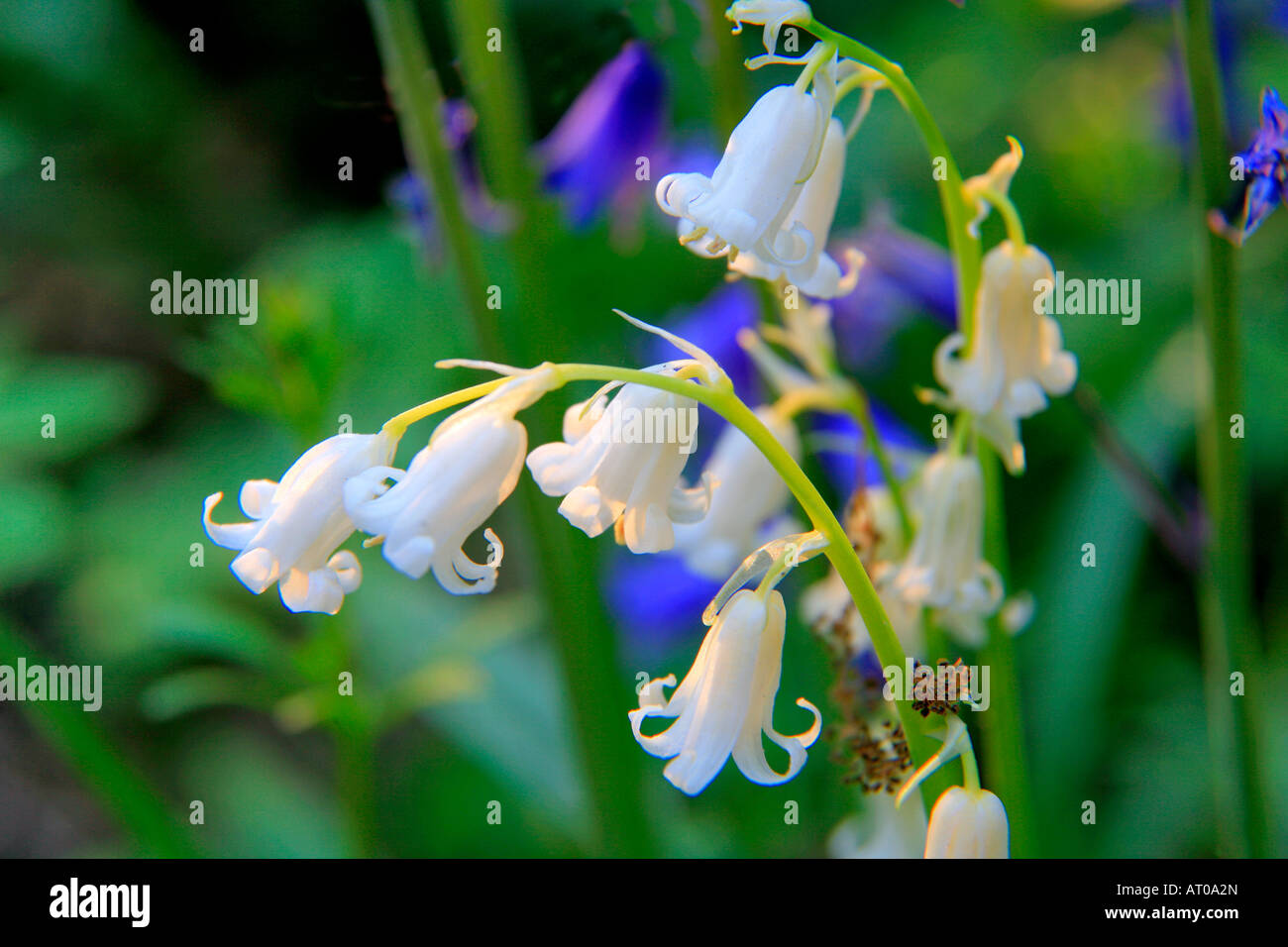White Bluebell Flowers Hyacinthoides Non Scripta Spring Bluebells In