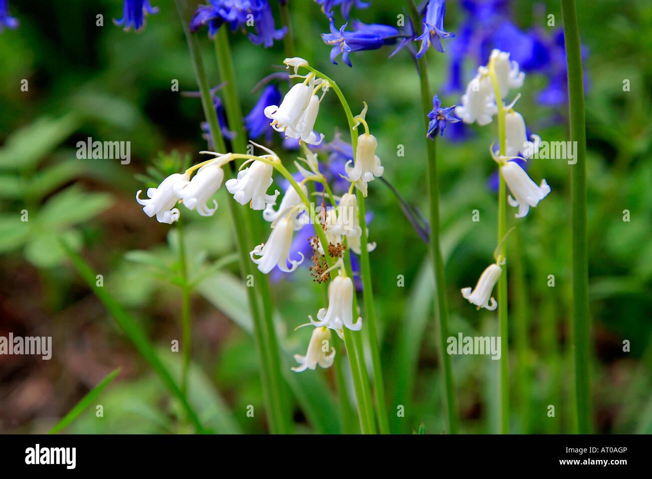 White bluebell flowers hyacinthoides non scripta spring bluebells in white bluebell flowers hyacinthoides non scripta spring bluebells in woodland cambridgeshire england britain uk mightylinksfo