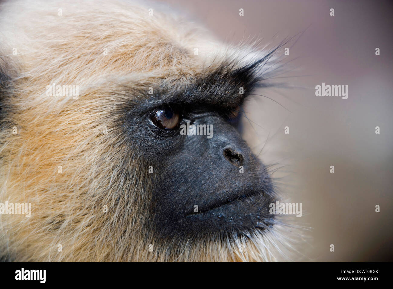 Black-faced vervet, Samburu Game Reserve, Kenya - Stock Image
