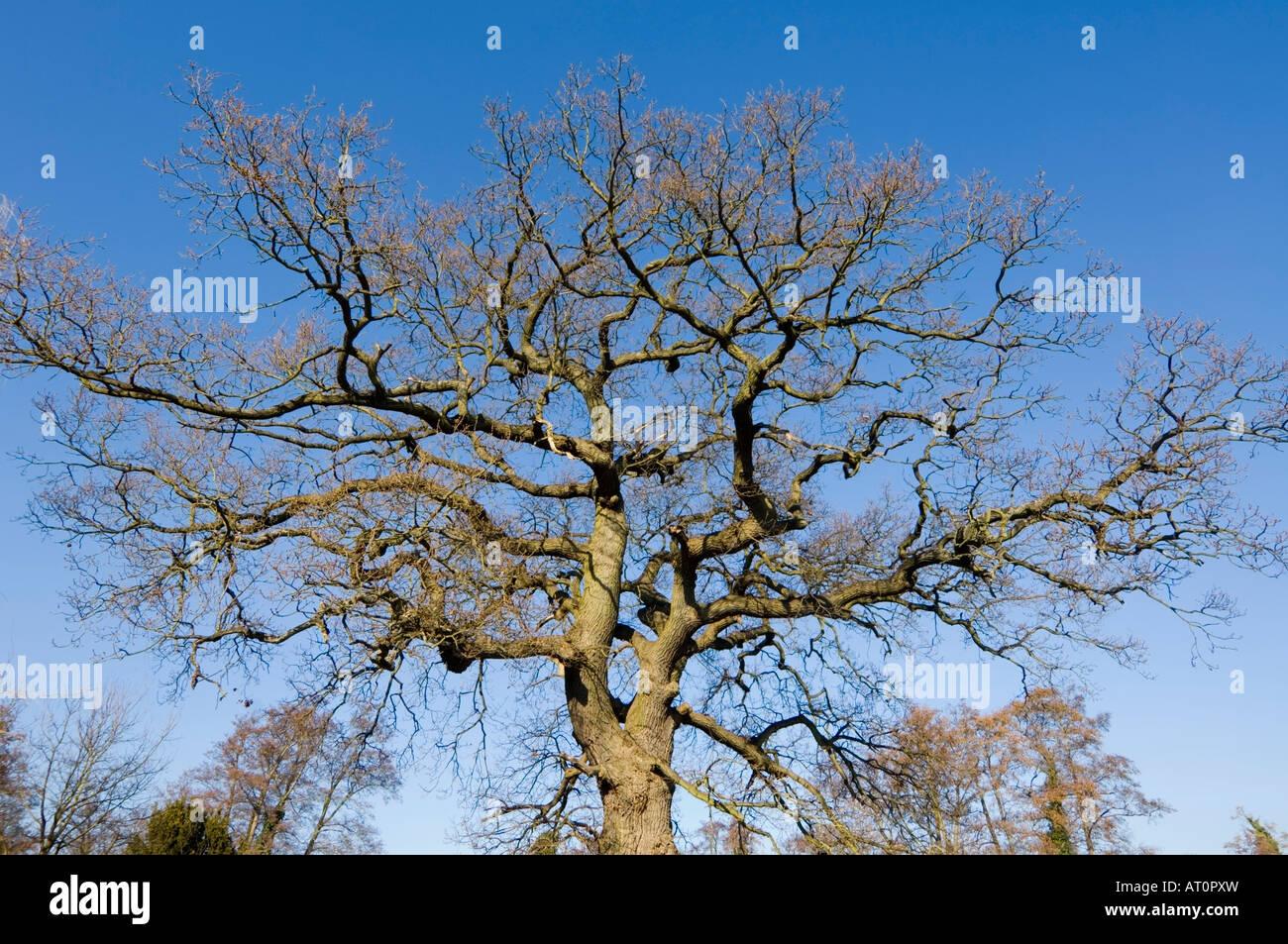 Leafless tree in winter Surrey UK - Stock Image