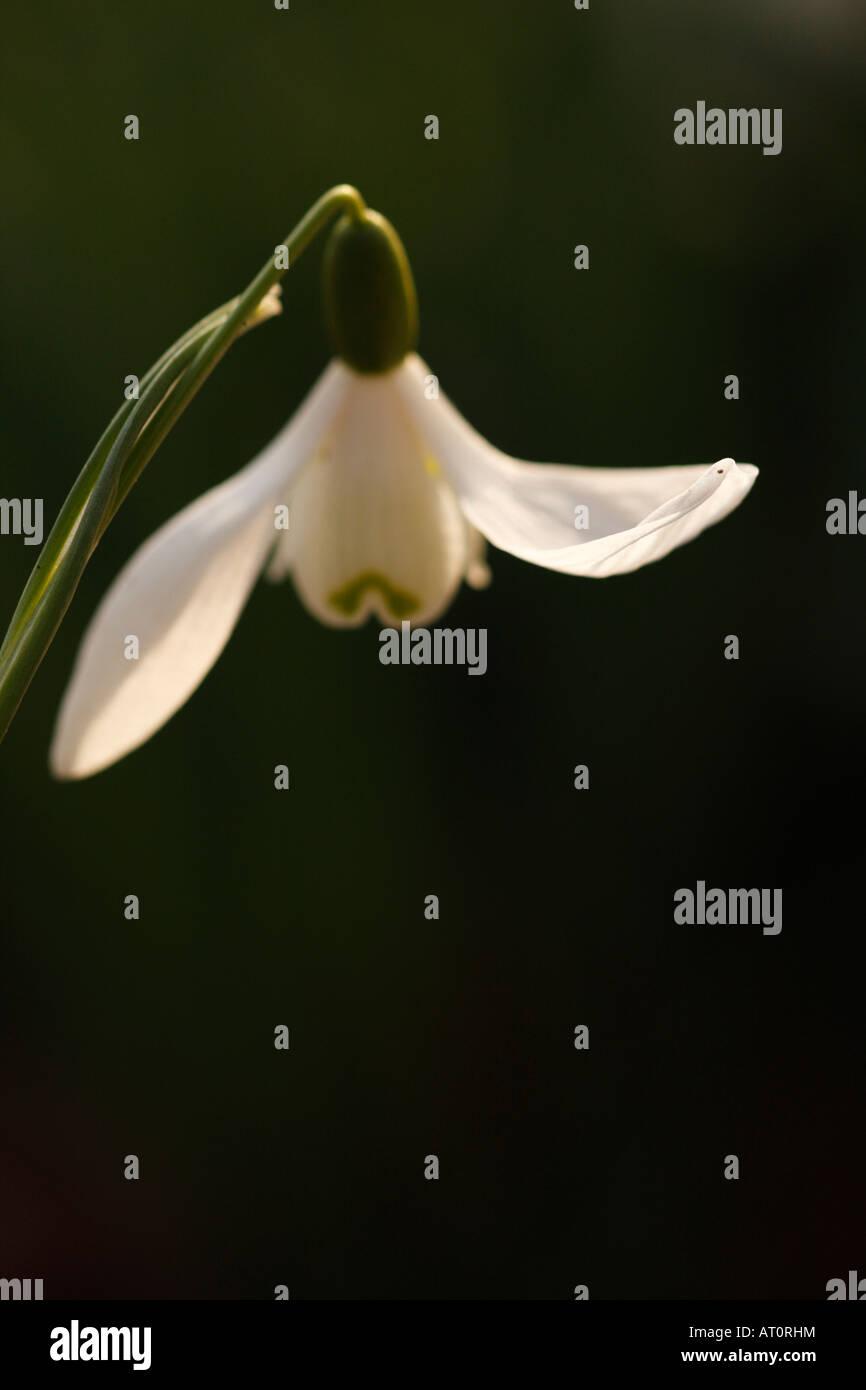 Snowdrop flower [Galanthus nivalis], sunlight on white petal tip,  'close up', England, UK - Stock Image
