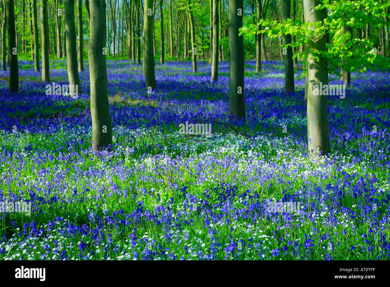 Bluebell Wild Spring Flowers Hyacinthoides Non Scripta In A Woodland