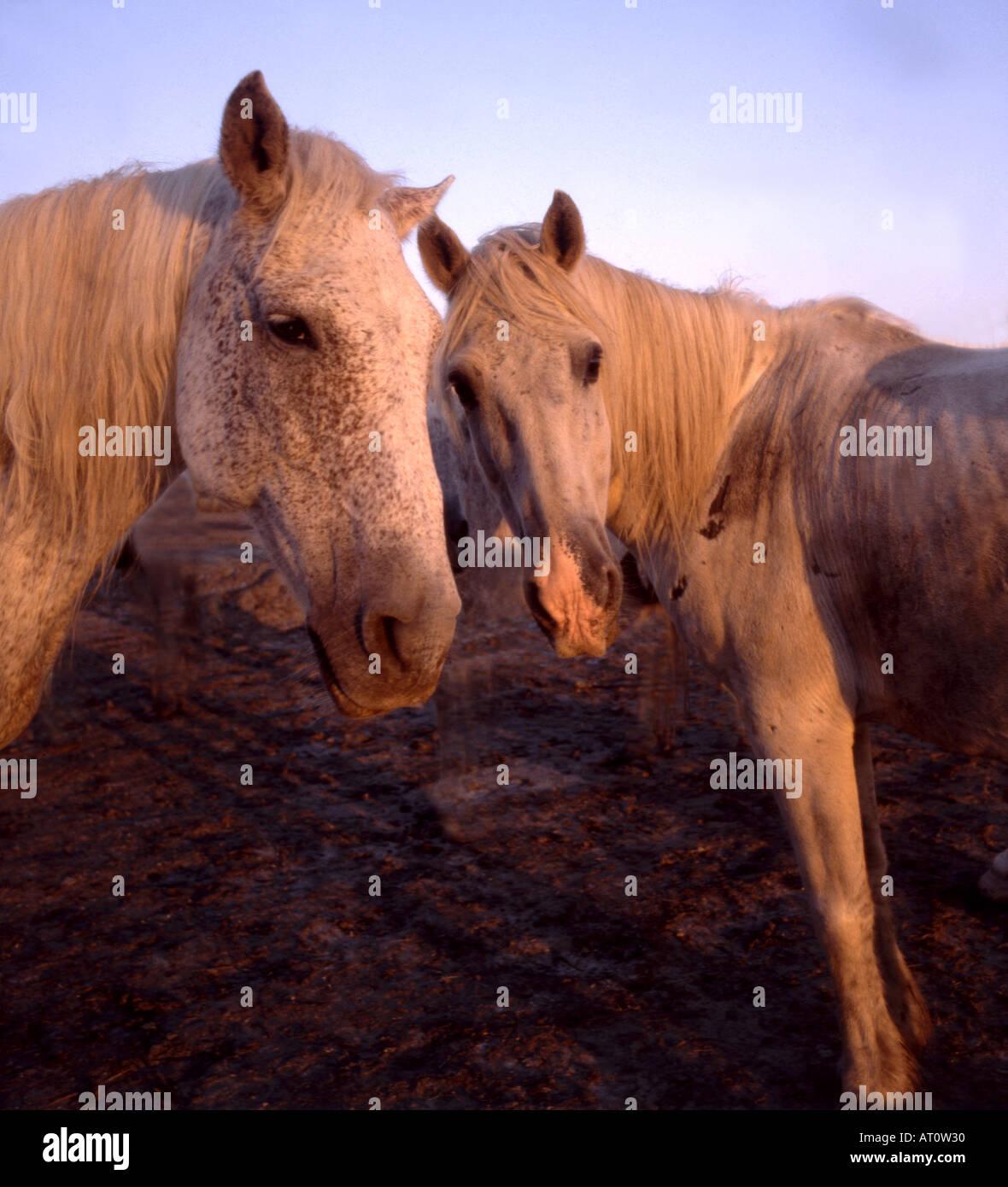 White horses in Camargue Provence France - Stock Image