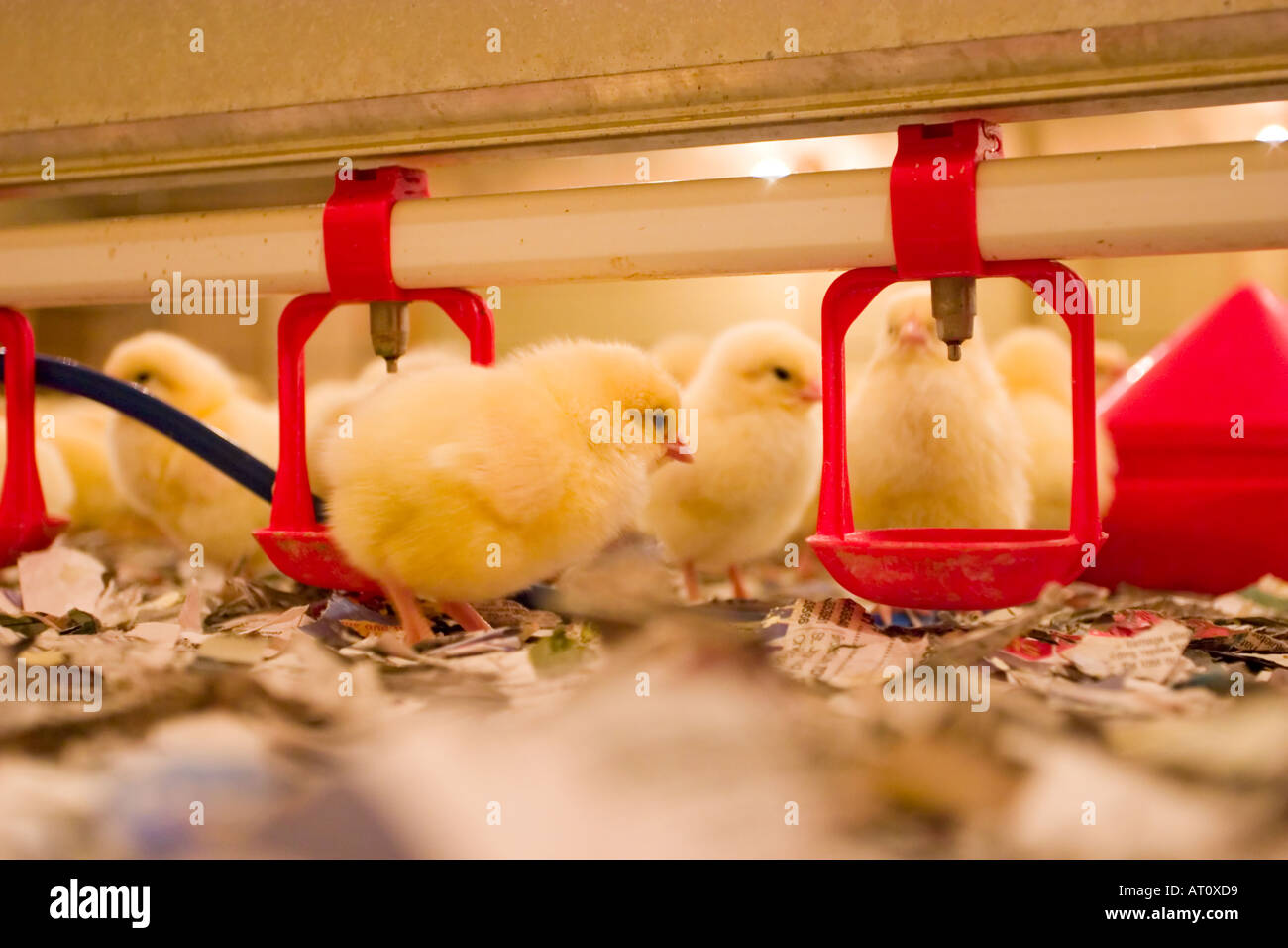 Day old chicks in chicken shed with water drinkers that include vacines to protect against diseases Stock Photo
