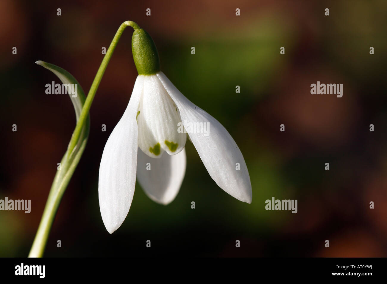 Snowdrop [Galanthus nivalis], 'close up' flower macro showing petal detail, [Welford Park], England, UK - Stock Image