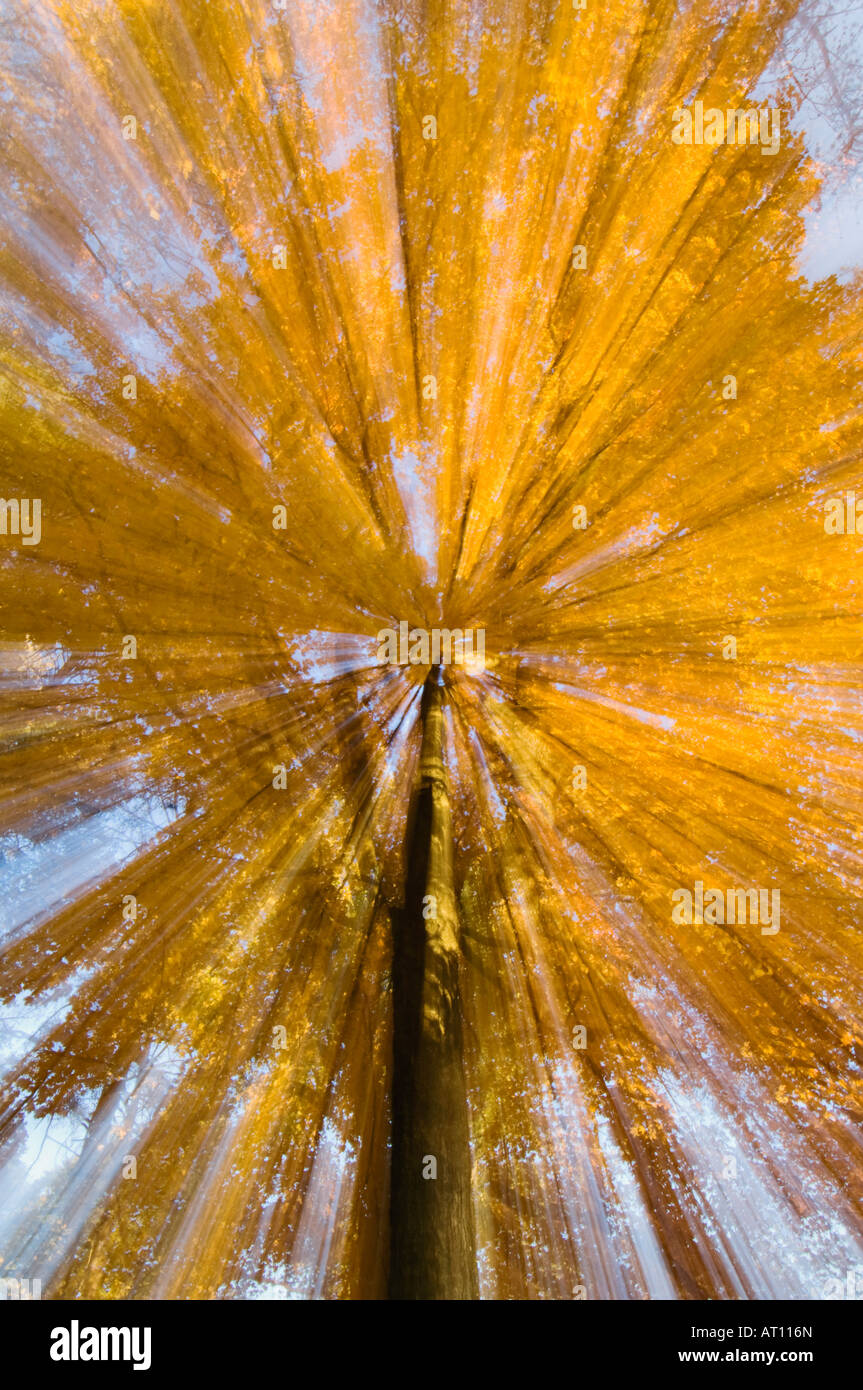 Zoom Effect of Autumn Maple Tree in Bernheim Arboretum and Research Forest Bullitt County - Stock Image
