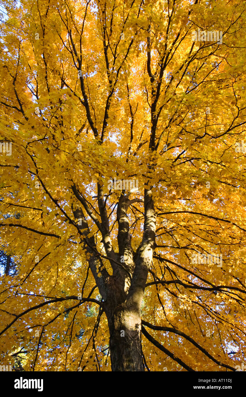 Detail of Autumn Maple Tree in Bernheim Arboretum and Research Forest Bullitt County Kentucky - Stock Image