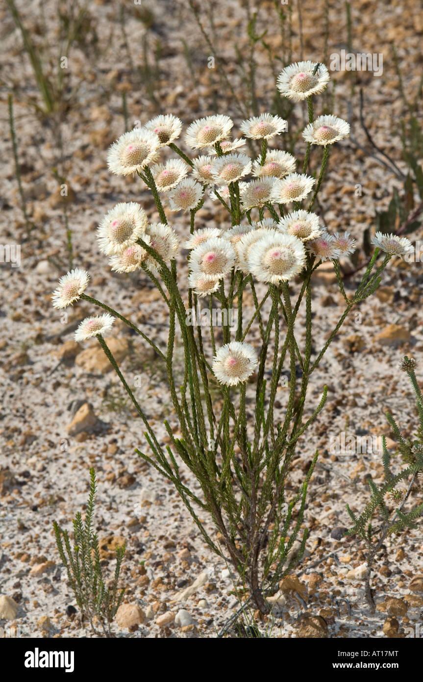 Swamp Daisy Actinodium Cunninghamii Flowers Fitzgerald River Stock