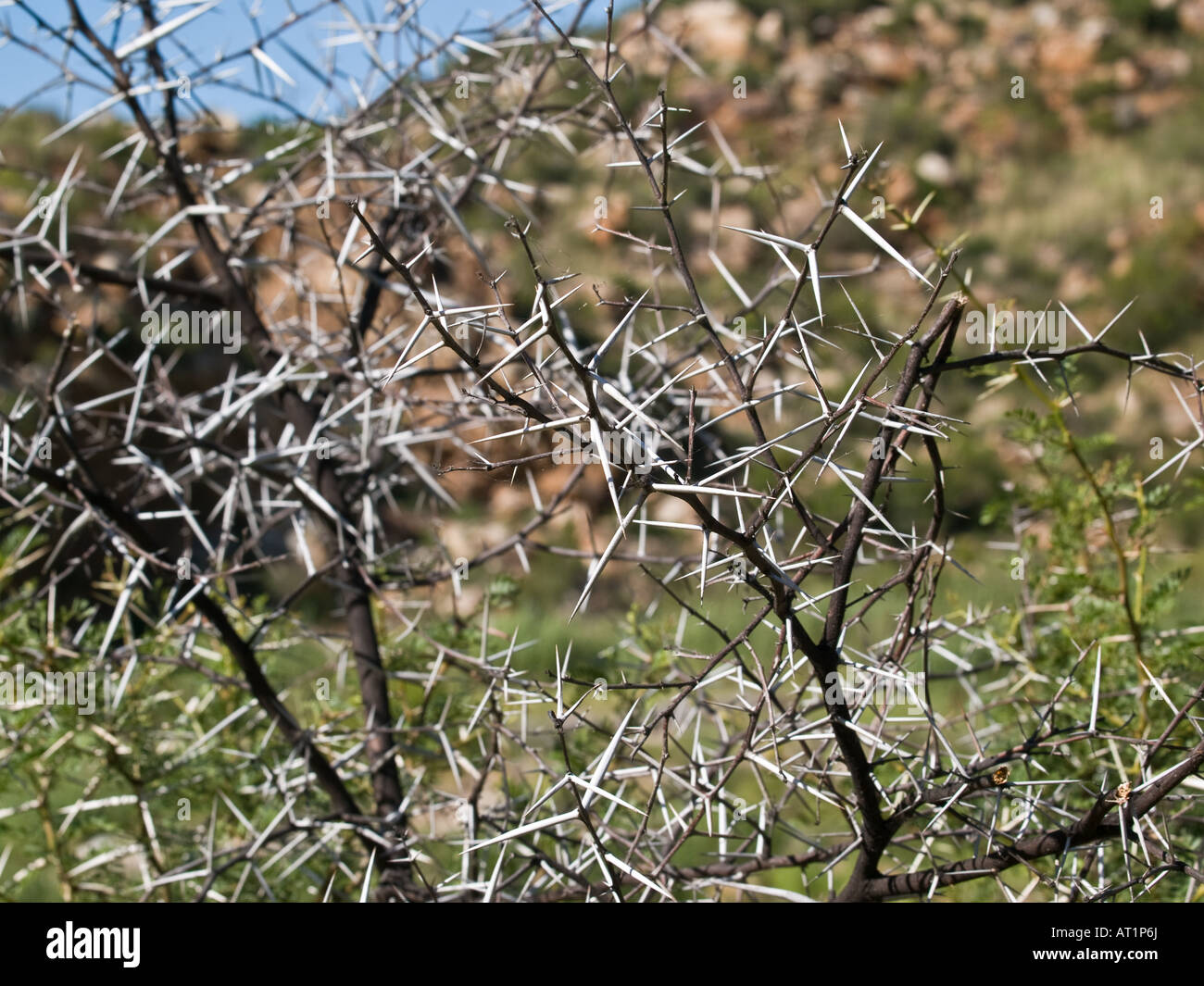 Thorn Bush Cape South Africa Stock Photo 16173545 Alamy