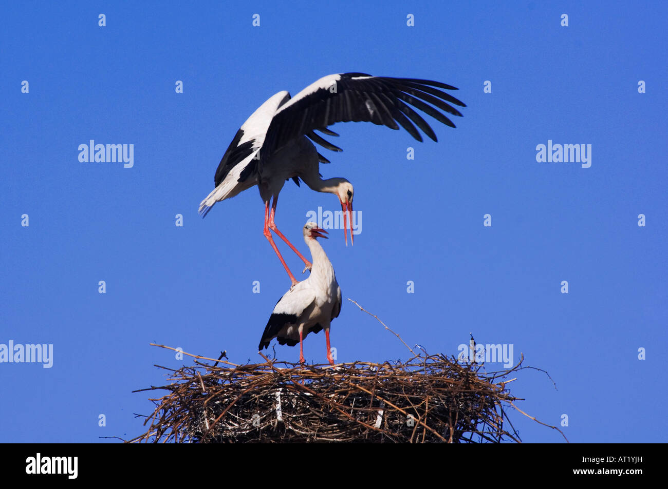 White Stork Ciconia ciconia pair on nest mating Rust National Park Lake Neusiedl Burgenland Austria April 2007 - Stock Image