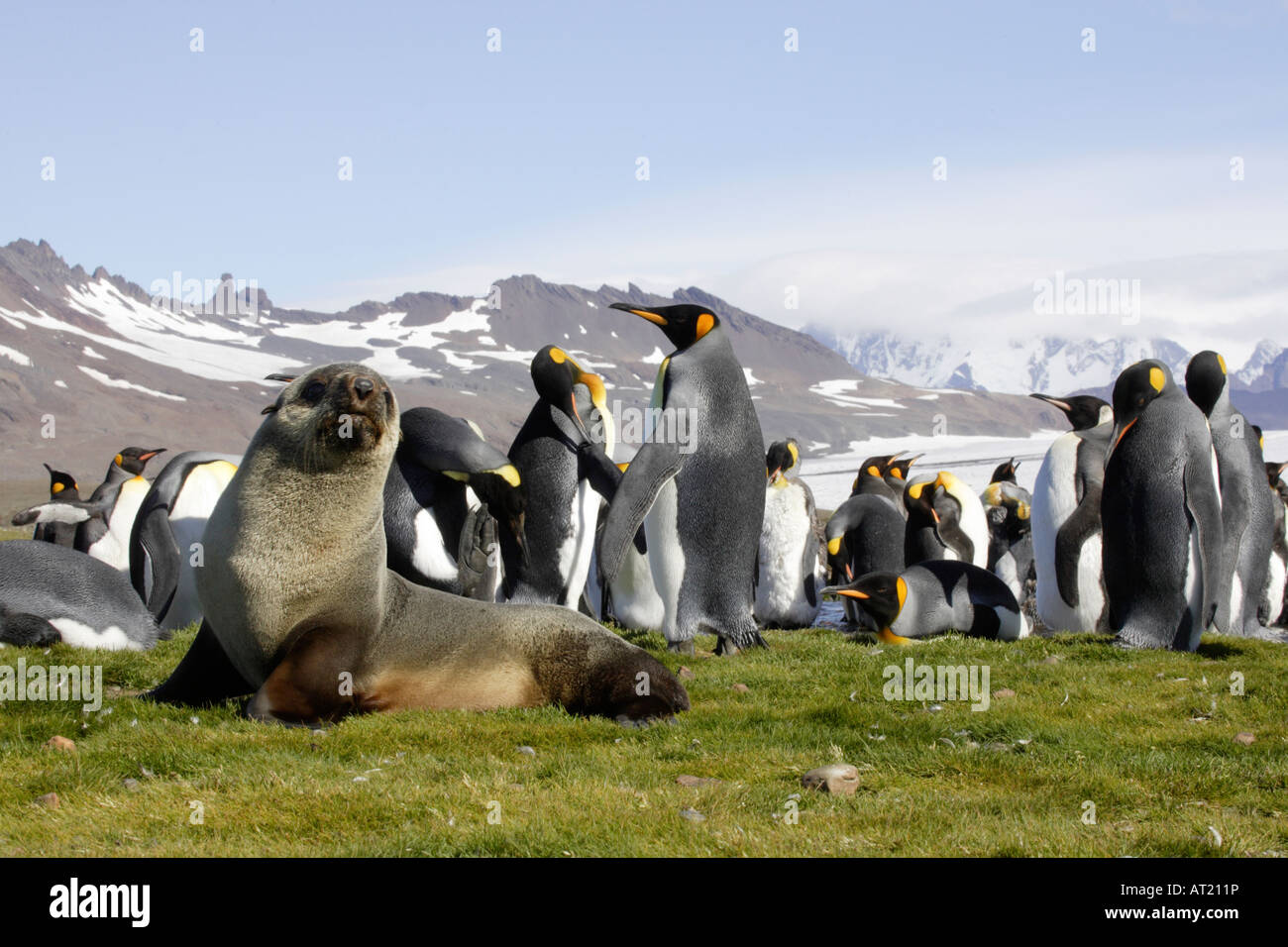 Fur seal and King Penguins on South Georgia - Stock Image