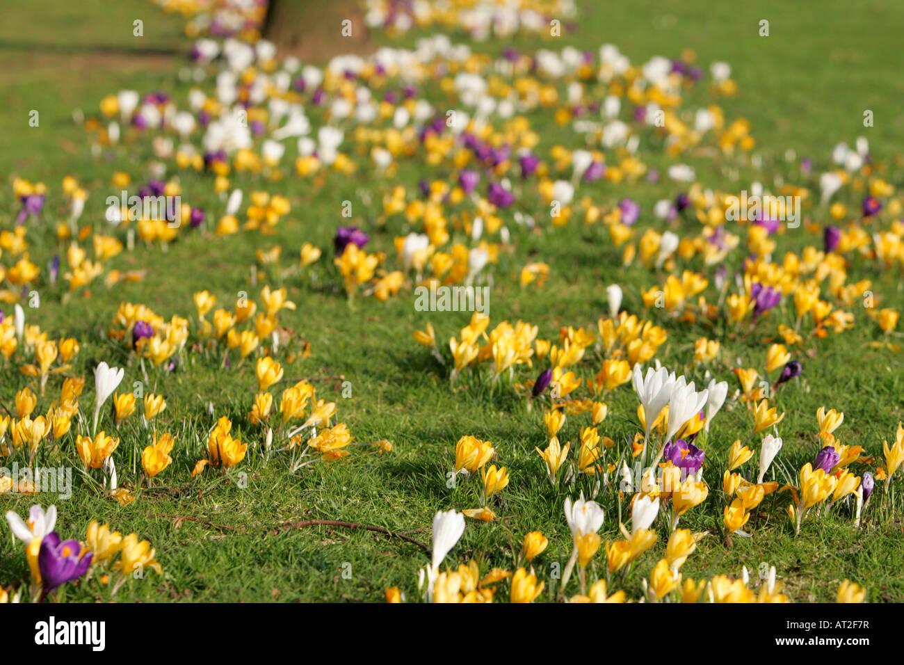 multicolour crocuses carpet Iridaceae growing on grassland in springtime - Stock Image