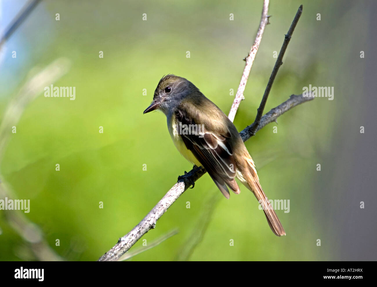 Great Crested Flycatcher Myiarchus crinitus Stock Photo