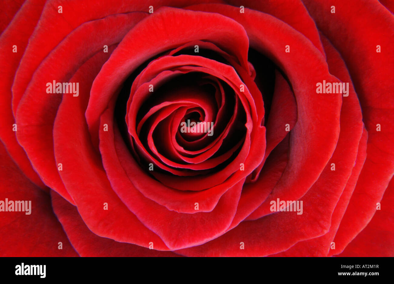 Red Rose close-up - Stock Image