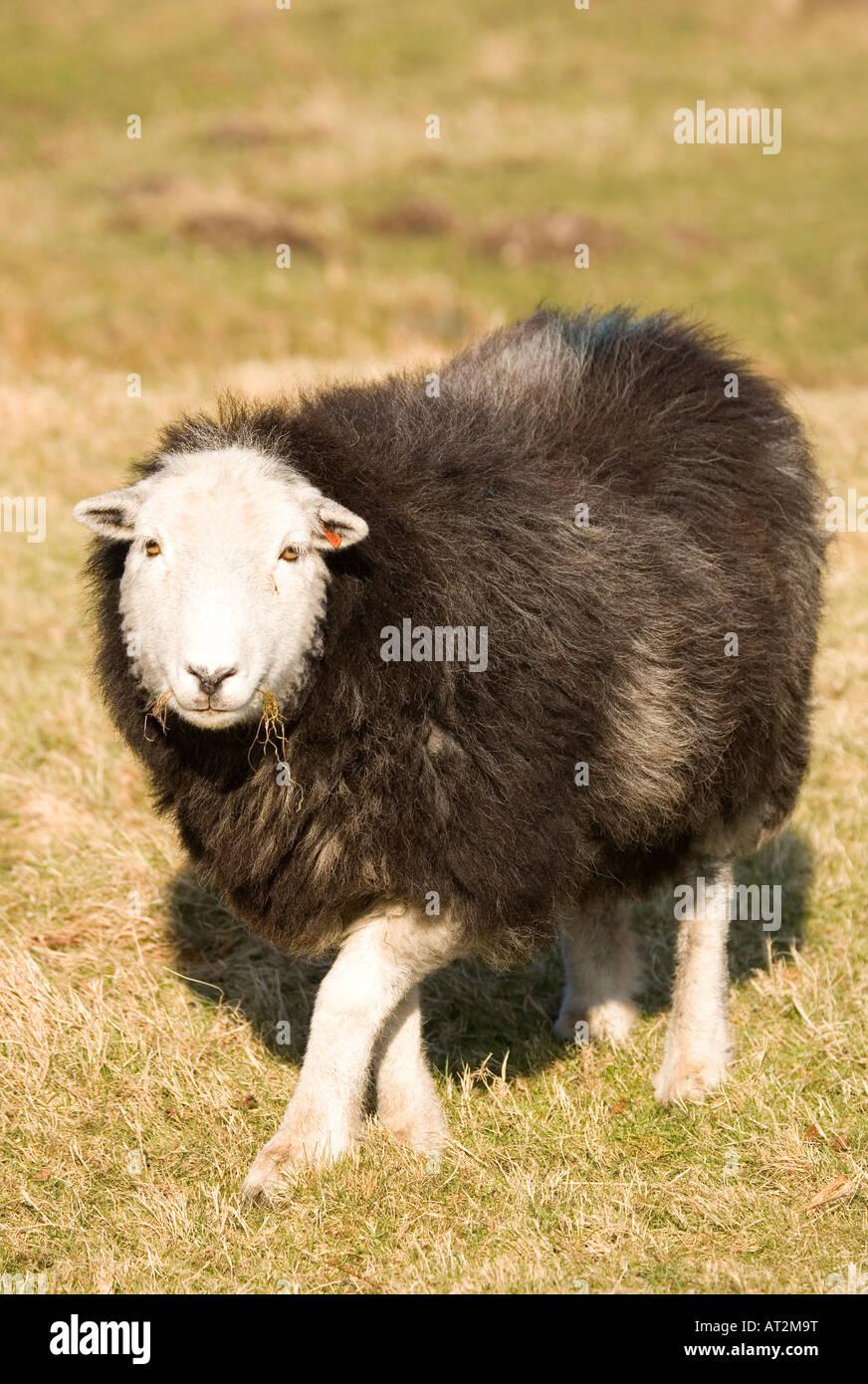 Herdwick Sheep in Lake district National park, Cumbria UK - Stock Image