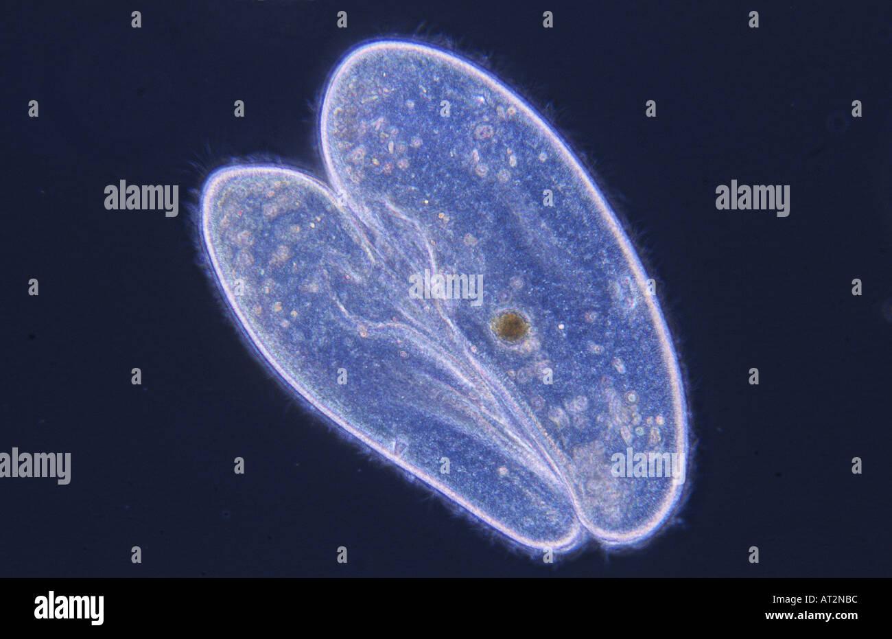 Conjugation Cell division Ciliata Protozoan Optic microscopy Stock Photo
