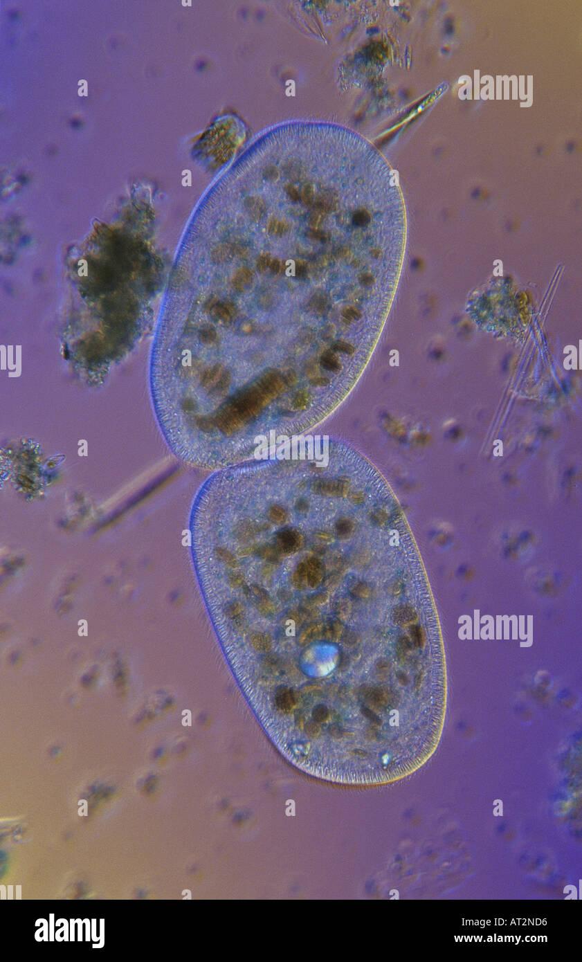 Bipartition Cell division Ciliata Protozoan Optic microscopy Stock Photo