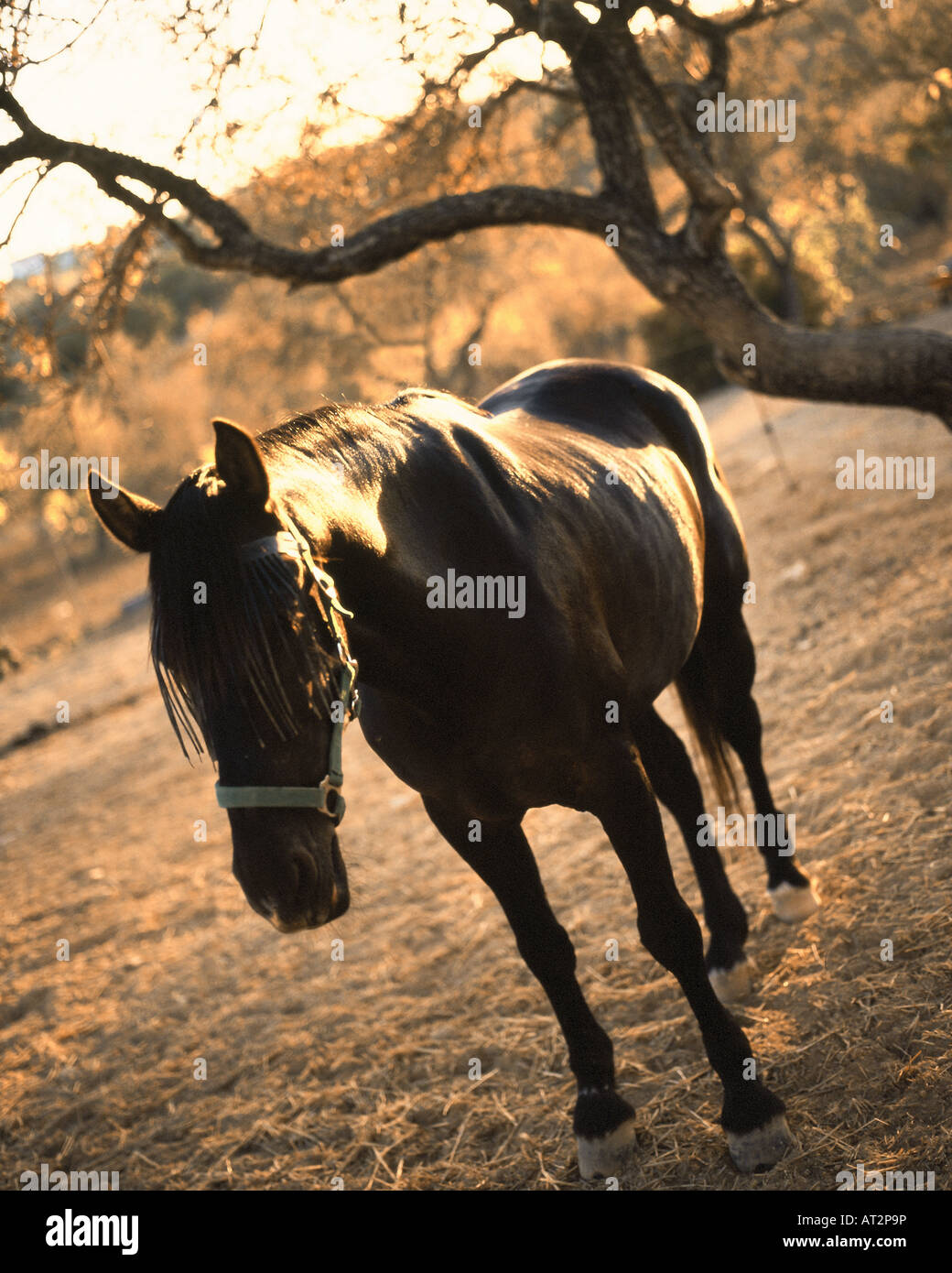 Brown horse, standing under a tree in the final sunset of a warm sunny day in the algarve portugal. - Stock Image