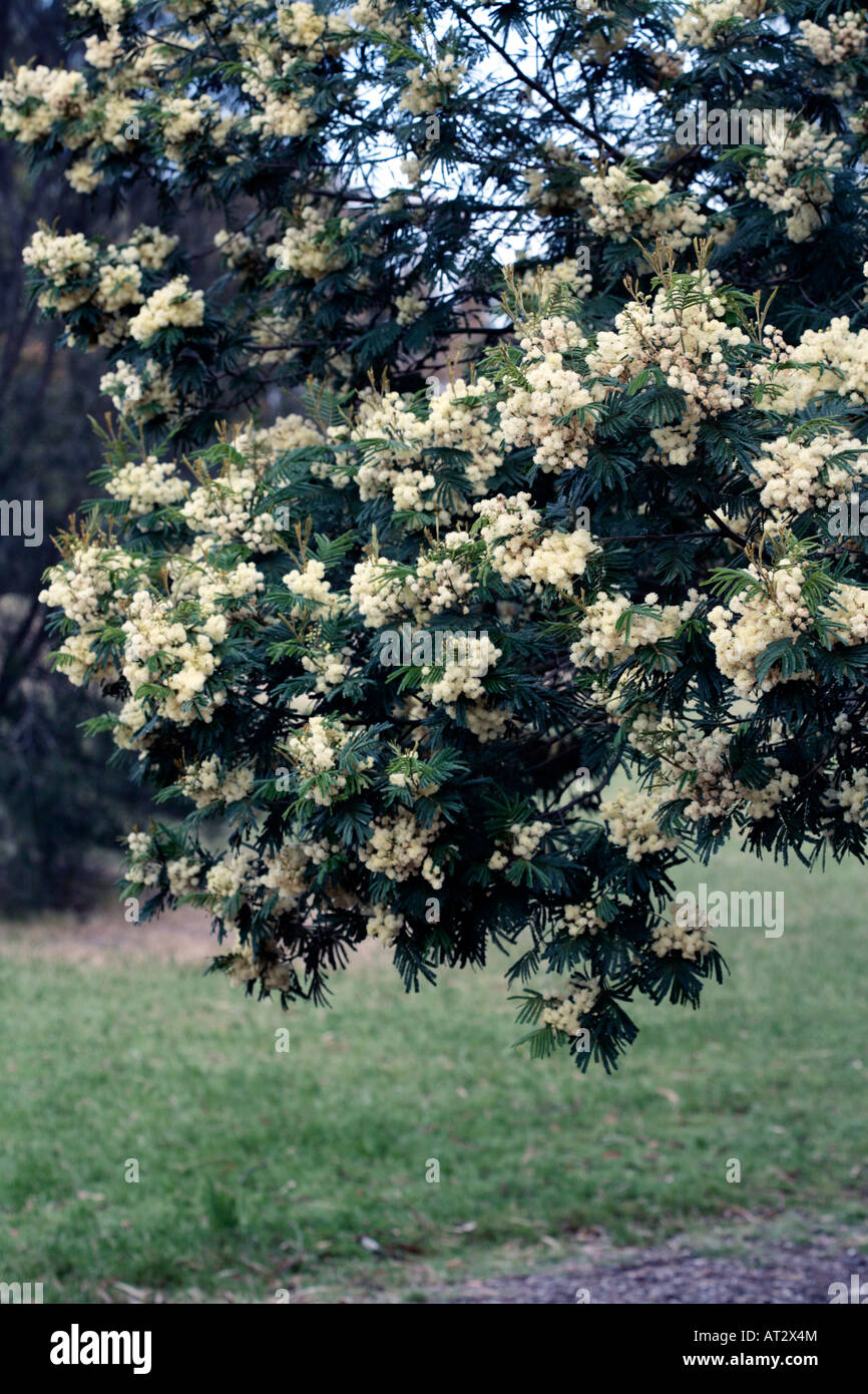 Black Wattle Acacia Mearnsii Family Fabaceaemimosaceae Stock Photo