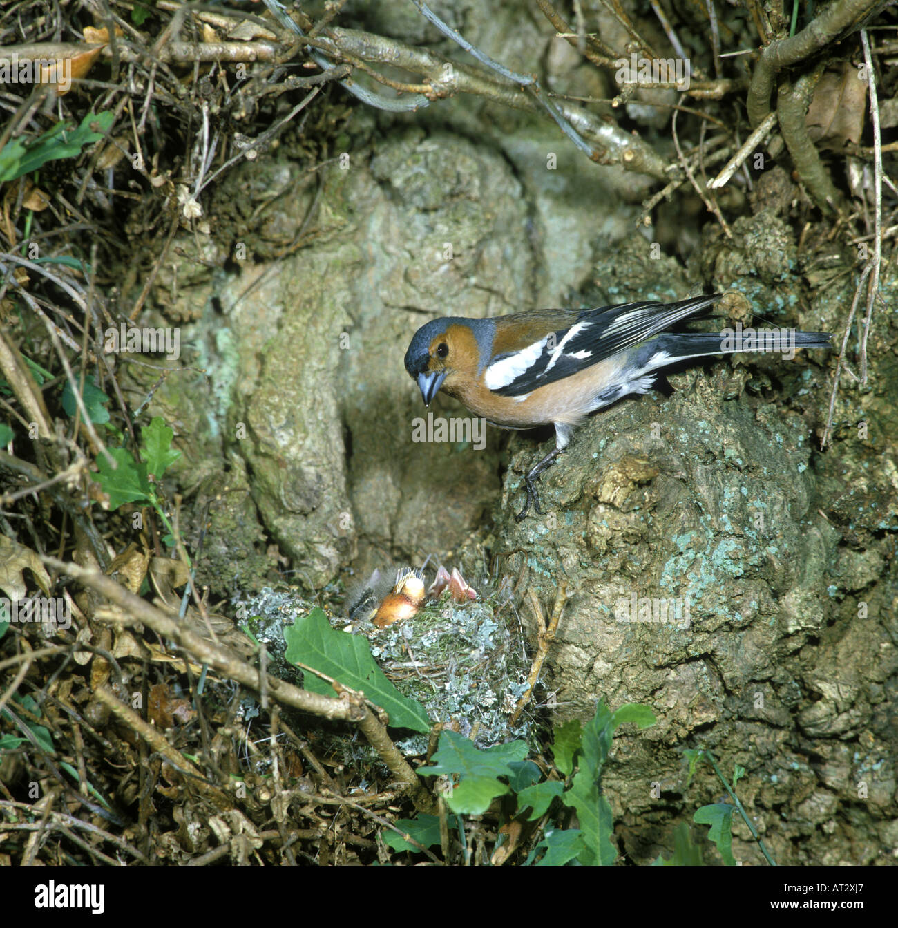 Chaffinch Fringilla coelebs Male at nest in Oak tree young in nest - Stock Image