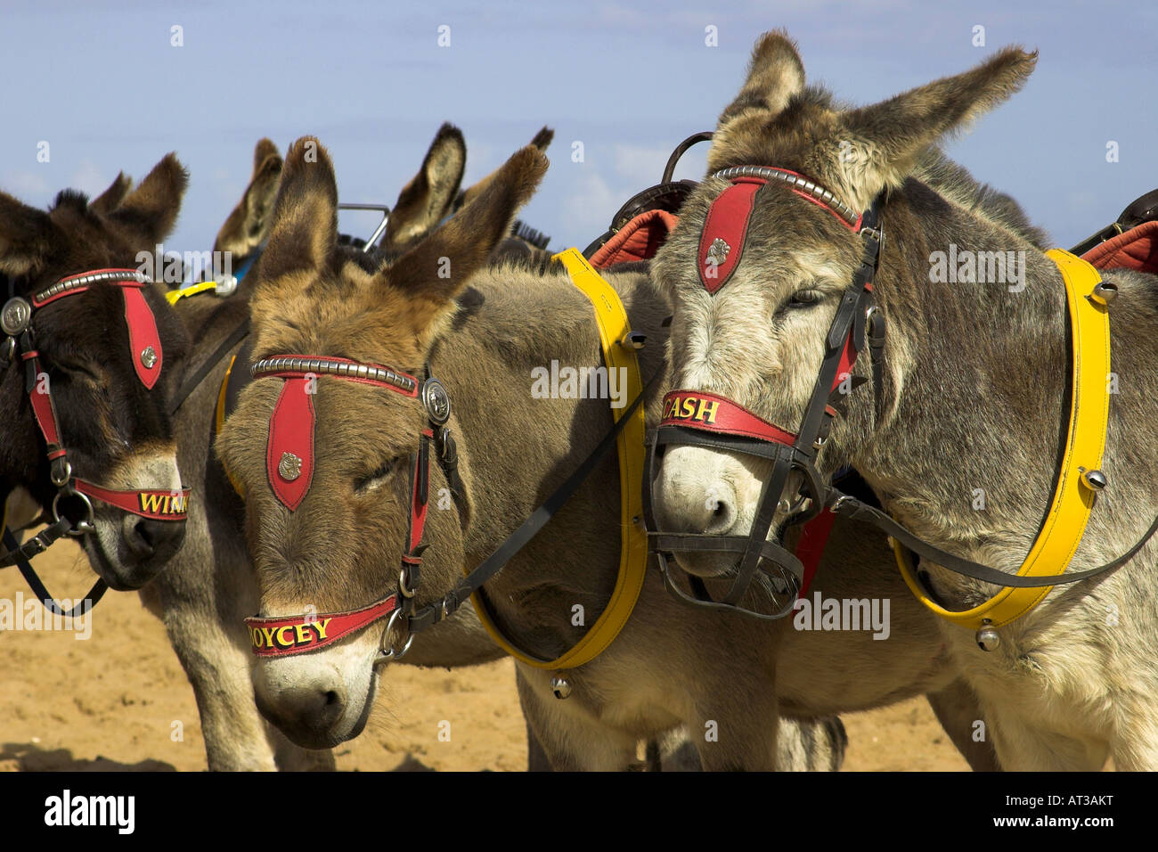 Donkeys on the beach at Skegness, Lincolnshire, England, U.K. Stock Photo