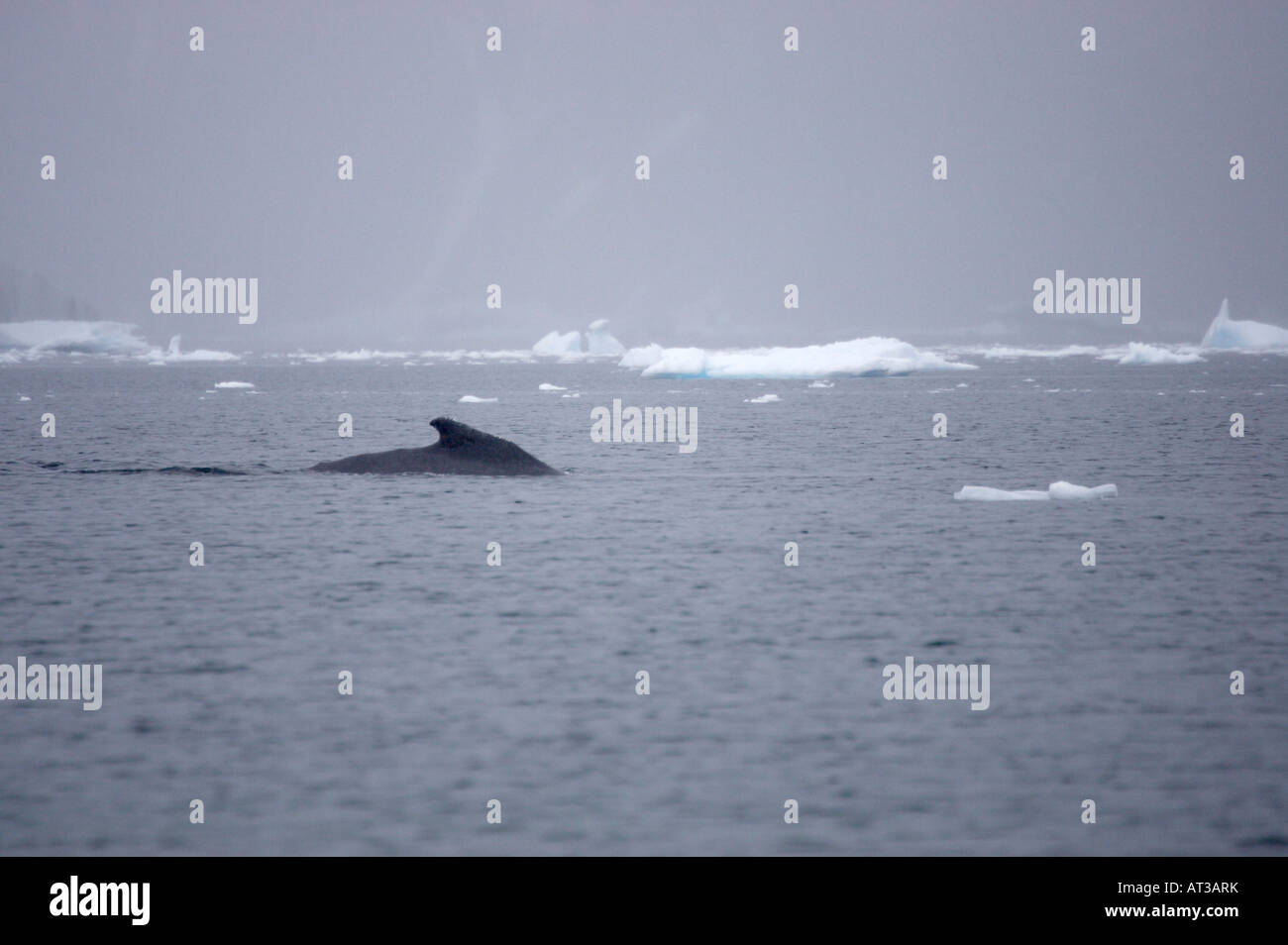 Humpbacked Whale in Antarctica - Stock Image