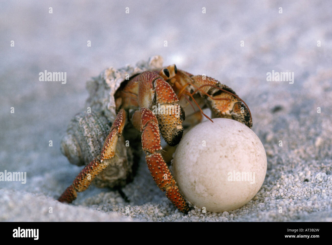 Hermit crab on a beach eating turtle egg Action Actions ...