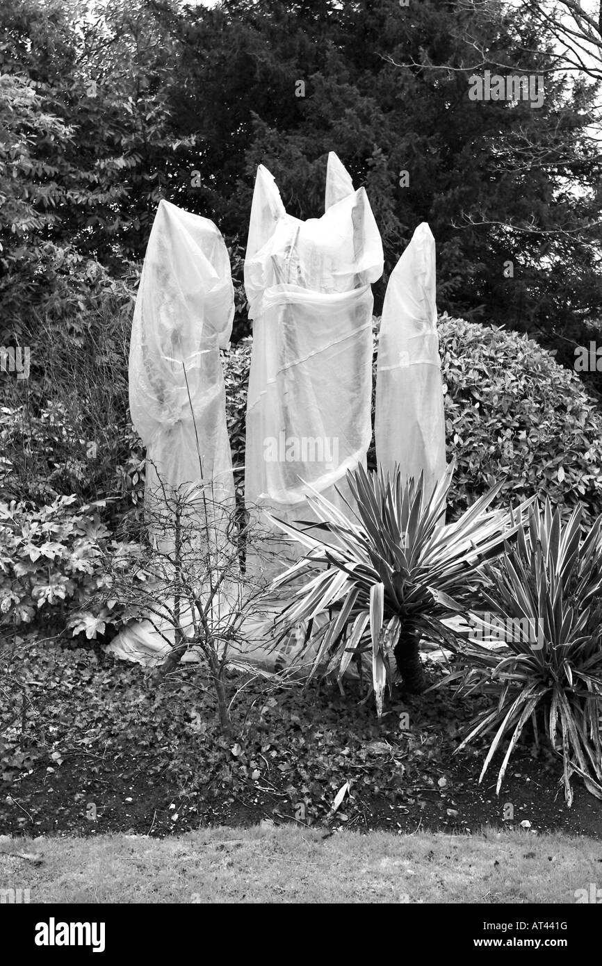 Black and white image of tender palms covered in horticultural fleece during winter season - Stock Image